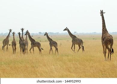A group of giraffes (Giraffa camelopardalis) in Serengeti National Park, Tanzania