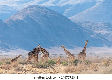 A group of Giraffes grazing in the desert of central Namibia. Hardap Region Namibia.