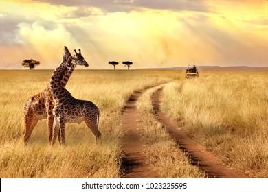 Group of giraffes in a National Park. Sunlight landscape.