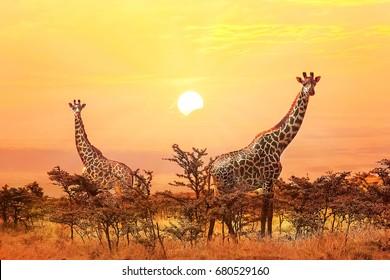 Group of giraffes on sunset background.