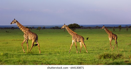 Group of giraffes walking in savannah. Tanzania, Serengeti