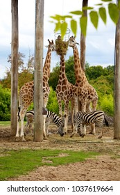Group of giraffes and zebras eating together
