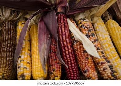 A group of Glossy Yellowish-White & Bright Reddish-Purple Corn Cobs on display at a Pennsylvania Farmer's Market 2018