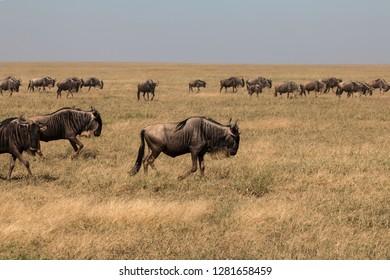 a group of gnu in Serengeti African safari