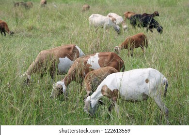 group of goat eating grass in field.