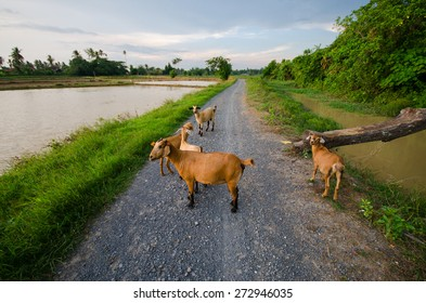Group of goat on grasses places