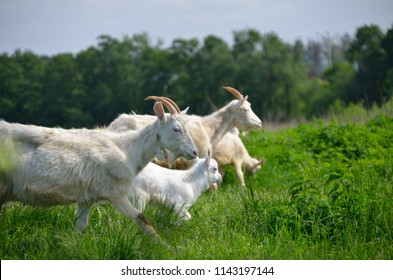 Group of goats with baby goat walking on the meadow