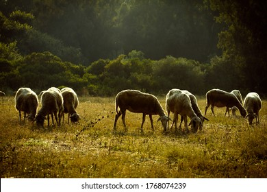 group of goats in an greek landscape