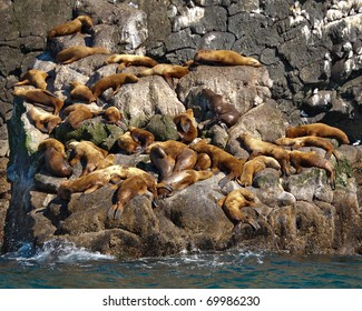 A group of golden brown sea lions sunning themselves on rocks by the water in Alaska,