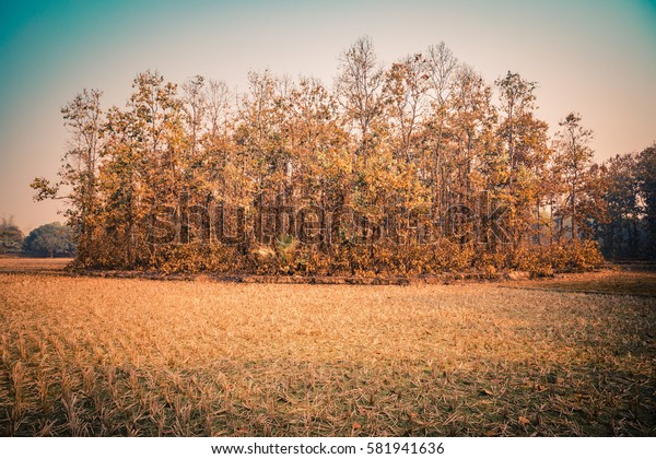 A group of golden and orange colored trees in the forrest of Bangladesh on an autumn winter day