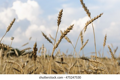 Group of golden wheat and blue sky on background