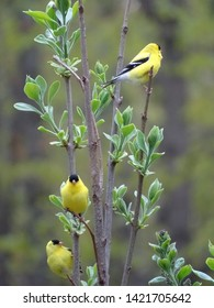 Group of goldfinch in a lilac bush