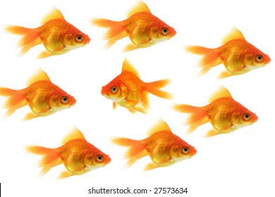 group of goldfish with one fish swimming the opposite way