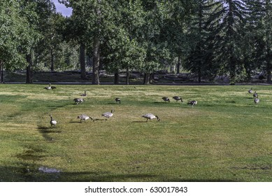 group of goose in a park