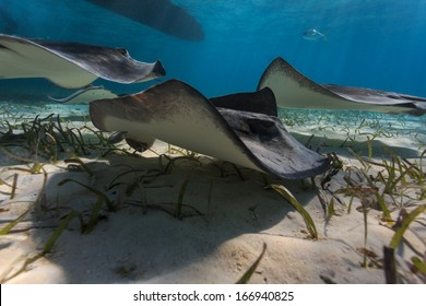 Group of gray juvenile southern sting rays forage for food using a wave like motion of their pectoral fins