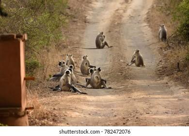Group of Gray Langur or Hanuman Langur resting on road of Ranthambore national park