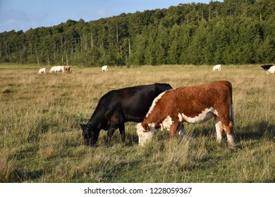Group of grazing cattle in a wetland with a forest background at the swedish island Oland