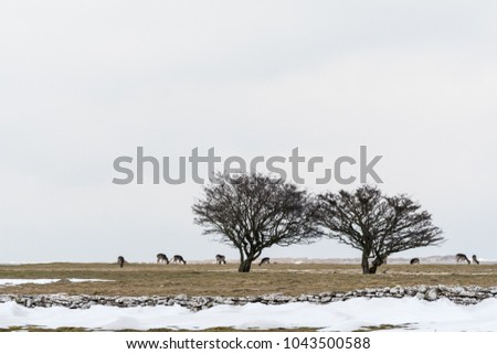 Group of grazing deers in a snowy landscape at the swedish island Oland