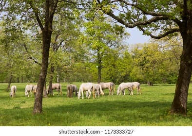 Group of grazing Lipizzan horses in a field in Lipica, Slovenia