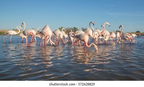 Group of Greater flamingos (Phoenicopterus roseus), Camargue, France