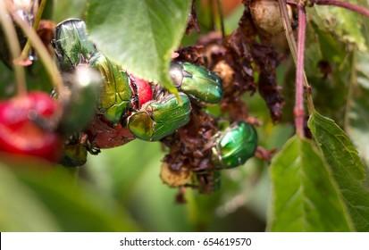 Group of green fruit beetles eating cherries.