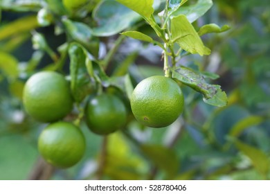 Group of green organic lime citrus fruit on tree.