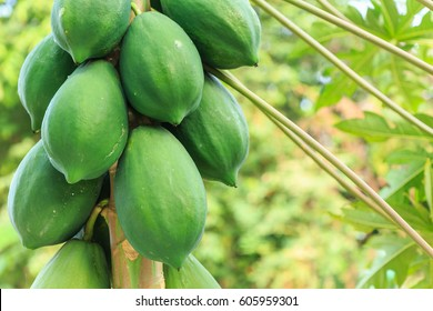 Group of green papaya on the tree and blur background.