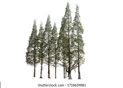 Group of green pine tree on isolated, an evergreen leaves plant di cut on white background with clipping path.