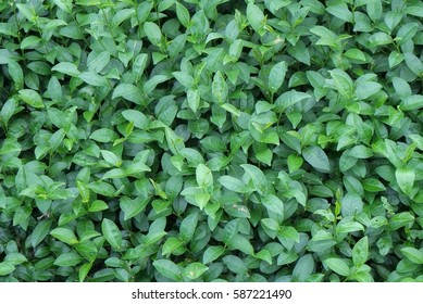 Group of green tea leaves background
