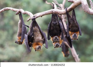 Group of Grey Headed Flying Foxes Hanging in the Trees