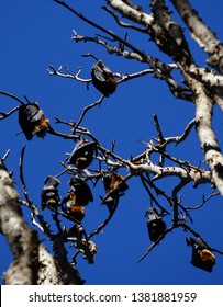Group of grey headed flying foxes roosting on branches