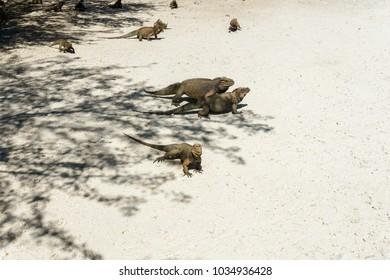 group of grey wild iguanas in the wild