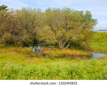 Group of grey willows trees, Salix atrocinerea, over a seasonal rain pond of Bao park in Arousa Island