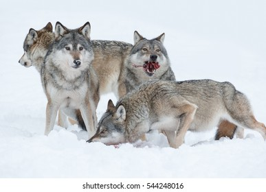 A group of Grey Wolves feeding on the remains of a Moose carcass, in deep snow during a Norwegian winter.