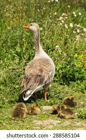group of greylag goslings with adult goose