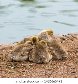 A Group of Greylag Goslings on the Riverbank