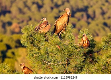 Group of Griffon Vultures (Gyps fulvus) in a treetop in evening light, Sierra Morena, Andalucia, Spain.