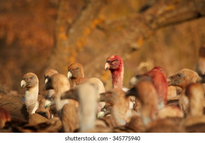 Group of Griffon Vultures, Gyps fulvus, close up bloody heads details, staring forward..