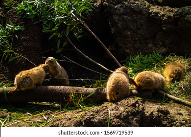 A group of Groundhogs (Punxsutawney Phil) in a sunny light.