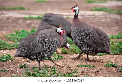 A group of guinea fowl are searching for food.