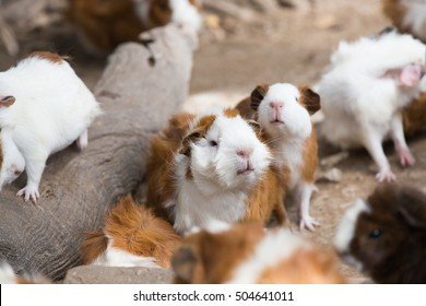 Group of Guinea pig or cavy