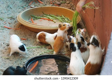 A group of guinea pig eating some food