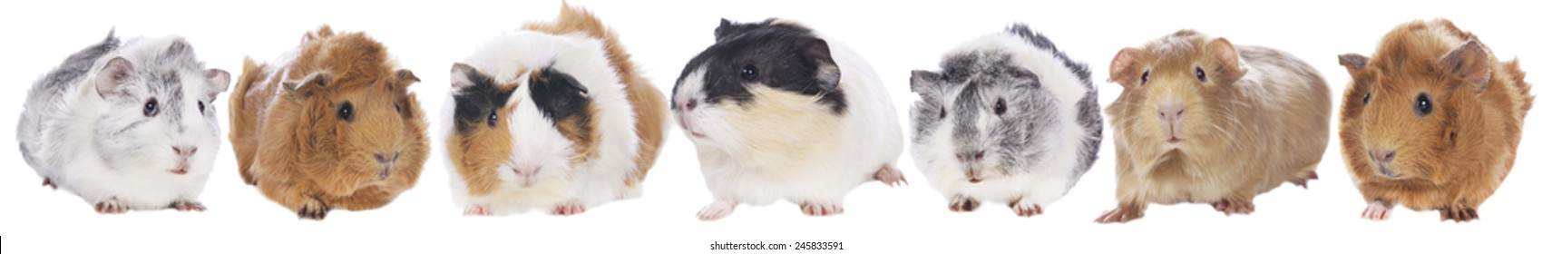 Group of guinea pigs isolated on white