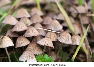 A group of hallucinogenic mushrooms growing wild in a forest meadow. Illegal psyhotropic substance. Macro photography
