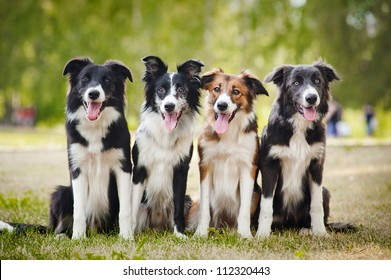group of happy dogs border collies sitting on the grass in summer