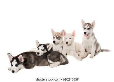 group of happy siberian husky puppies on white
