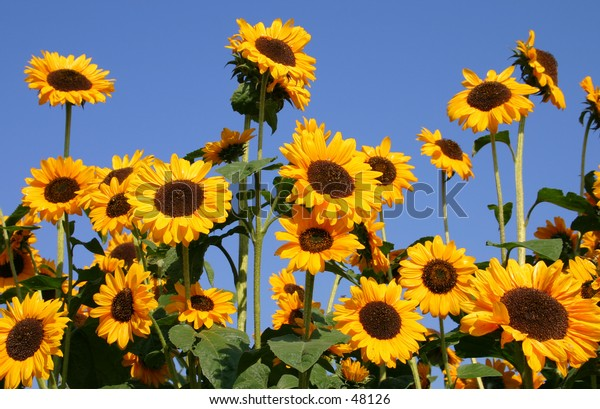 Group of  happy sunflowers in a field