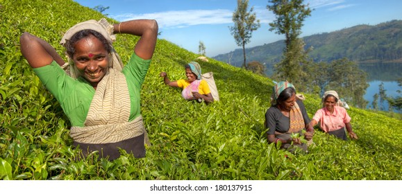 Group of Happy Tea Pickers in Hills of Sri Lanka