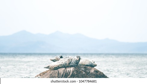 Group of harbour seals on stone by the coast of vancouver island british columbia canada