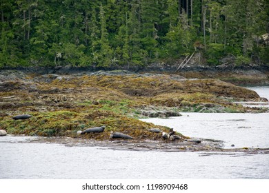 A group of harbour seals sunbathing and relaxing on rocks near Tofino, British Columbia, Canada